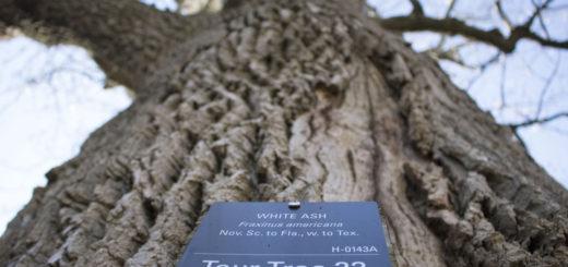 ash tree 2 silber